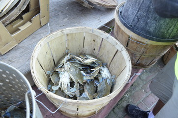 Maryland Blue Crabs being sorted by size into a wooden barrel