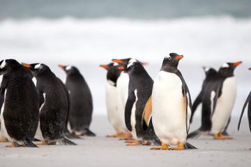 Gentoo Penguin (Pygoscelis papua) colony on the beach. Falkland