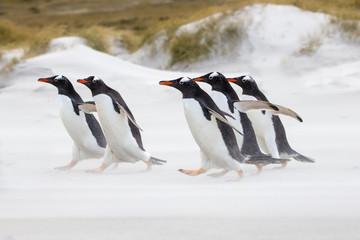 Gentoo Penguins running to the sea