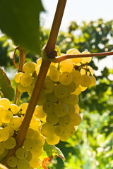 Malvasia also known as Malvazia is a group of wine grape varieties grown historically in the Mediterranean region