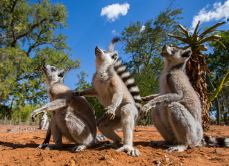 Ring-tailed lemur. Madagascar. Funny picture.