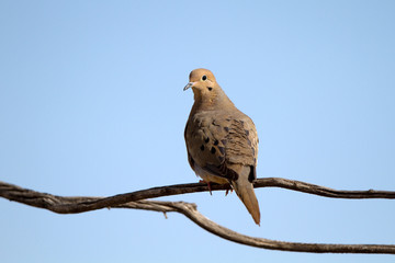 Mourning Dove on a forked branch in the Texas Panhandle