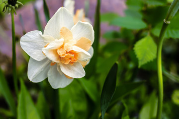Foto auf AluDibond Narzisse Narcissus Constantinopol