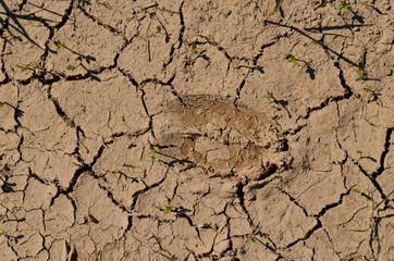 Cow hoof print in dry crackled mud