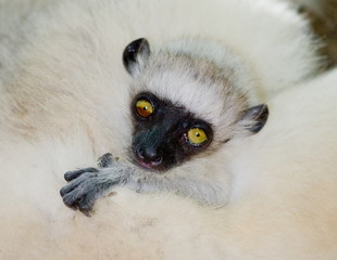 Portrait of a baby dancing lemur. close-up. Madagascar.