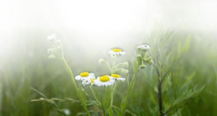 Daisy Flower field on a sunny day.