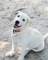 Labrador dog smile