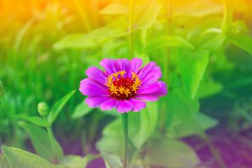 Zinnia flower in a garden