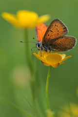 Purple-edged Copper butterfly (Lycaena hippothoe) and spring flowers