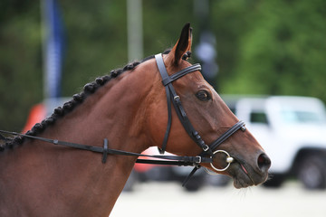 Side view head shot of a thoroughbred dressage horse