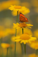Yellow flowers in the garden with Scarce Copper , Lycaena virgaureae