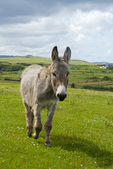 Esel auf der Weide, Irland