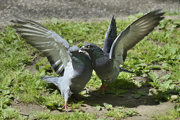Two pigeons fighting fiercely on the ground outside.