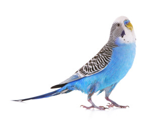 Fotobehang Papegaai Budgerigar isolated on white