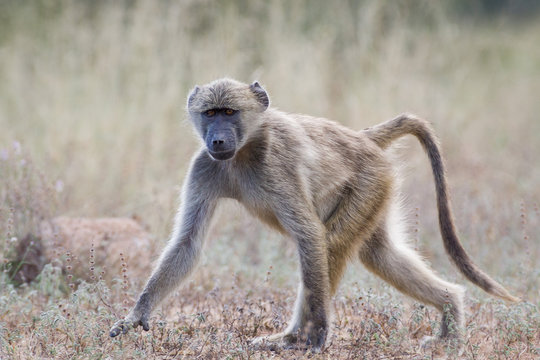 Young wild Baboon walking on a dirt road in the Kruger National Park, South Africa
