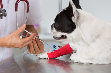Veterinary clinic with a French bulldog
