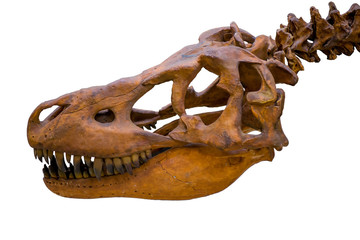 Tyrannosaurus rex skeleton skull isolated on white background