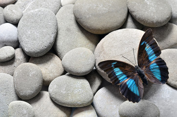 Butterfly prepona laerte and stones