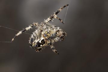Garden Spider. Araneus diadematus.