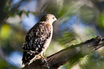 Closeup of a Red-tailed Hawk beside California's Kern River