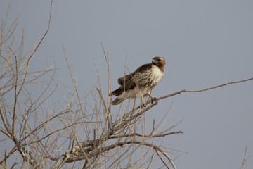 Red-tailed Hawk on a cold winter day in southern Colorado