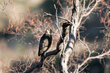 Sharp-shinned Hawk in winter in the Chirichahua Mountains of Arizona