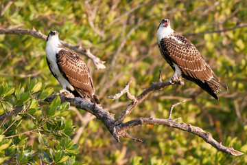 Two juvenile Ospreys or Fish Hawks wait for their parents to feed them in Everglades National Park