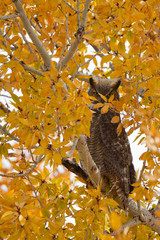 Great Horned Owl peers out through yellow autumn leaves in Colorado