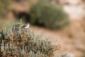 Loggerhead Shrike, a predatory songbird, in Mojave National Preserve in California