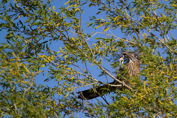 Greater Roadrunner holds a lizard aloft to attract a mate in spring