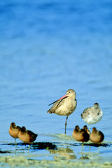 Marbled Godwit with sleepy friends on Florida's Gulf Coast in spring