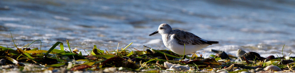 Plover at dawn on Florida's Atlantic Coast in spring