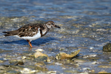 Ruddy Turnstone hunts a meal on Florida's Gulf Coast