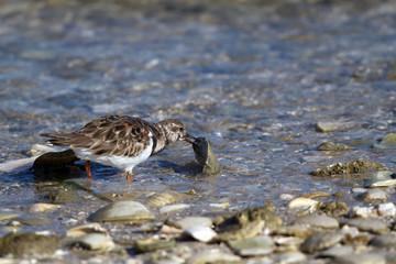 Ruddy Turnstone turns a stone on Florida's Gulf Coast