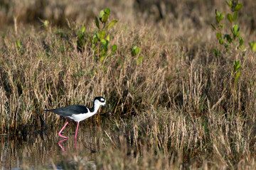 Black-necked Stilt hunts a meal in a coastal Florida marsh