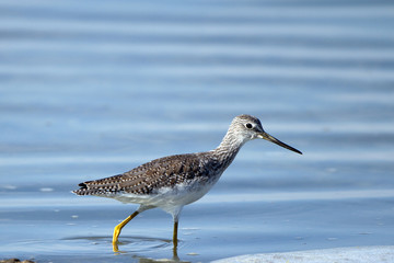 Greater Yellowlegs fishes in blue water at Quivira National Wildlife Refuge in Kansas