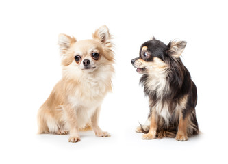 Couple of long-haired chihuahua isolated on white background