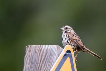 Fox Sparrow in spring in Leo Carrillo State Park near Malibu, California