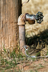 Thirsty Lark Sparrow seeks water at a drippy faucet in Palo Duro Canyon State Park in Texas