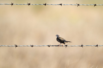 Lark Sparrow on a barbed-wire fence in the Texas Panhandle
