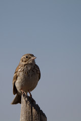 Sage Sparrow on a rural Colorado fence post in autumn