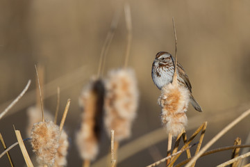 Savannah Sparrow on a cattail in a southern Colorado marsh