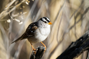 White-crowned Sparrow in spring at Bosque del Apache National Wildlife Refuge