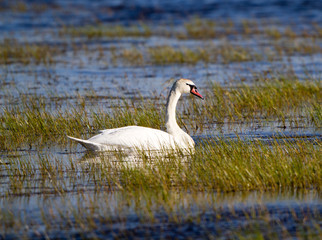 Mute Swan in Bosque del Apache National Wildlife Refuge in spring