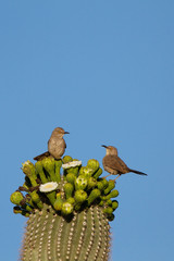 Two Curve-billed Thrashers atop a flowering Giant Saguaro in southern Arizona