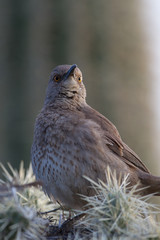 Curve-billed Thrasher on a Cholla cactus with a Giant Saguaro in the background