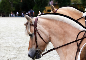 Close up of a fjord horses on a dressage event