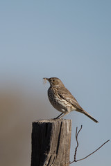 Sage Thrasher carries nesting materials in spring in southern Colorado