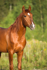 Portrait of red horse in nature