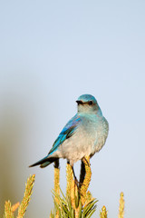Female Mountain Bluebird on a pinyon pine in New Mexico's high desert